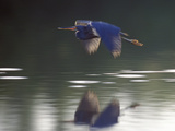 Great Blue Heron Flying Across Water Photographic Print by Nancy Rotenberg
