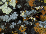 Lyre-Leaf Rockcress Flowers and Lichens on Rock Face, Isle Royale National Park, Michigan, USA Photographic Print by Mark Carlson
