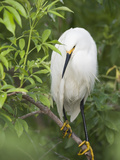 Snowy Egret Perches on Tree Limb Above Nest, St. Augustine, Florida, USA Photographic Print by Arthur Morris