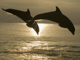 Bottlenose Dolphins, Caribbean Sea Fotografisk trykk av Stuart Westmoreland