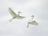 Snowy Egrets Fighting, Sanibel, Florida, USA Photographic Print by Arthur Morris