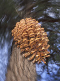 Close-up of Pine Cone Falling from a Ponderosa Pine Tree, Sierra Nevada Mountains, California, USA Photographic Print by Christopher Talbot Frank