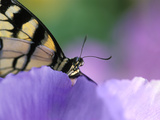 Close-up of Swallowtail Butterfly on Petunia in Garden Fotografie-Druck von Nancy Rotenberg