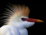 Portrait of Cattle Egret in Breeding Plumage, St. Augustine Alligator Farm, St. Augustine, Florida Photographic Print by Arthur Morris