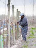 Vineyard Worker, Bodega Nqn Winery, Vinedos De La Patagonia, Neuquen, Patagonia, Argentina Lmina fotogrfica por Per Karlsson