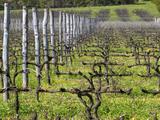 Vineyard in Cordon Royat, Bodega Pisano Winery, Progreso, Uruguay Photographic Print by Per Karlsson
