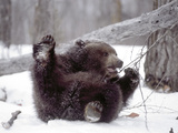 Juvenile Grizzly Plays with Tree Branch in Winter, Alaska, USA Photographic Print by Jim Zuckerman