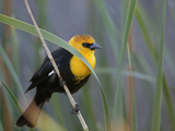 Yellow-Headed Blackbird Male Clings to Stalk Behind Reed, Salton Sea National Wildlife Refuge Photographic Print by Arthur Morris