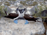 Blue-Footed Boobies in Skypointing Display, Galapagos Islands, Ecuador Reproduction photographique par Jim Zuckerman