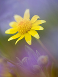 Yellow Wildflower Among Purple Flowers Photographie par Ellen Anon
