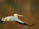 White Pelican Flying Over Lake, Santee Lakes Park, California, USA Photographic Print by Arthur Morris
