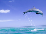 Bottlenose Dolphins, Caribbean Sea Photographic Print by Stuart Westmoreland