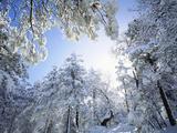 Christopher Talbot Frank - Freshly Snow-Covered Trees in Sunlight, Laguna Mountains, Cleveland National Forest, California - Fotografik Baskı