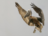 Brown Pelican Flying with Nest-Building Material, Little Bird Key, Tierra Verde, Florida, USA Photographic Print by Arthur Morris