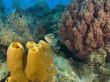 Couple Scuba Diving, Sponge Formations, Half Moon Caye, Barrier Reef, Belize Photographic Print by Stuart Westmoreland