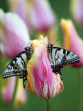 Two Swallowtail Butterflies on Tulip in Early Morning Photographic Print by Nancy Rotenberg