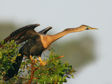 Anhinga Female at the Venice Rookery, Venice, Florida, USA Photographie par Arthur Morris