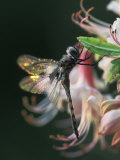 Close-up of Dragonfly Backlit on Azalea, Georgia, USA Photographic Print by Nancy Rotenberg