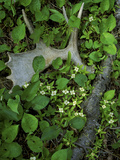 Moose Antler in Bunchberry Flowers at Springtime, Isle Royale National Park, Michigan, USA Photographic Print by Mark Carlson