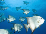 Atlantic Spadefish, Hol Chan Marine Park, Ambergris Caye, Barrier Reef, Belize Photographic Print by Stuart Westmoreland