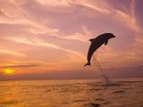 Bottlenose Dolphins, Caribbean Sea Near Roatan, Honduras Fotografisk trykk av Stuart Westmoreland