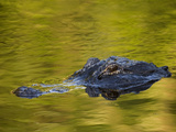 American Alligator at an Alligator Farm, St. Augustine, Florida, USA Photographic Print by Arthur Morris