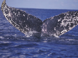 Barnacle-Encrusted Whale Tail Photographic Print by Amos Nachoum