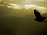 Silhouette of Bald Eagle Flying Against Mountains and Sky, Homer, Alaska, USA 写真プリント : アーサー・モーリス