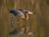 Reddish Egret Reflected in Water and Preparing to Take Off, Ft. Myers Beach, Florida, USA Photographie par Ellen Anon