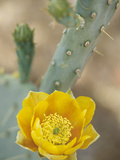 Prickly Pear Cactus in Bloom, Arizona-Sonora Desert Museum, Tucson, Arizona, USA Photographic Print by John & Lisa Merrill