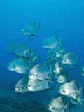 Atlantic Spadefish, Ambergris Caye, Hol Chan Marine Preserve, Belize Fotografisk tryk af Stuart Westmoreland