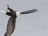 Bald Eagle Dive for Prey, Homer, Alaska, USA Fotografiskt tryck av Arthur Morris