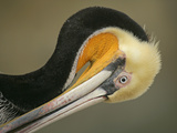 Close-up of Brown Pelican Preening, La Jolla, California, USA Photographic Print by Arthur Morris