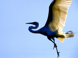 Great Egret in Flight, St. Augustine, Florida, USA Photographic Print by Jim Zuckerman
