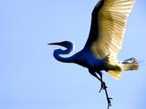 Great Egret in Flight, St. Augustine, Florida, USA Photographic Print by Jim Zuckerman