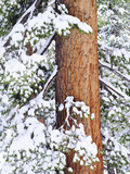 Fresh Snow on Red Fir Trees, Sierra Nevada Mountains, California, USA Photographic Print by Christopher Talbot Frank