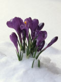 Crocus in the Snow Photographic Print by Nancy Rotenberg