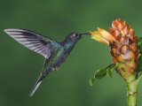 Violet Sabrewing in Flight Feeding on Spiral Ginger, Central Valley, Costa Rica Photographic Print by Rolf Nussbaumer
