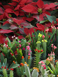 Christmas Poinsettias with Flowering Cactus in Market, San Miguel De Allende, Mexico Fotodruck von Nancy Rotenberg