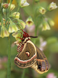 Cecropia Moth on Alium Flowers Fotografie-Druck von Nancy Rotenberg