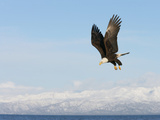 Bald Eagle in Flight with Upbeat Wingspread, Homer, Alaska, USA Photographic Print by Arthur Morris