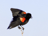 Red-Winged Blackbird Clings to Branch at Sunrise, Merritt Island, Florida, USA Photographic Print by Jim Zuckerman