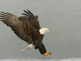 Bald Eagle in Landing Posture, Homer, Alaska, USA Fotografiskt tryck