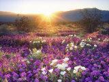 Hiekkaverbena ja dyyniesikko auringonlaskussa, Anza-Borregon aavikkopuisto, Kalifornia Valokuvavedos tekijänä Christopher Talbot Frank