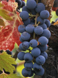 Detail of Cabernet Savignon Grapes on the Vine in Napa Valley, California, USA Photographic Print by Dennis Flaherty