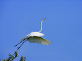 Great Egret Takes Flight from Tree, St. Augustine, Florida, USA Photographic Print by Jim Zuckerman