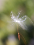 Close-up of Dandelion Seed Blowing in the Wind, San Diego, California, USA Photographic Print by Christopher Talbot Frank