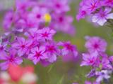 Phlox in Bloom Near Devine, Texas, USA Photographic Print by Darrell Gulin