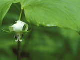 Close-up of Nodding Trillium Flower Beneath Leaf in Springtime, Michigan, USA Photographic Print by Mark Carlson