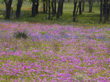 Phlox and Oak Trees in Springtime, Nixon, Texas, USA Photographic Print by Darrell Gulin